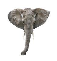 Elephant Head Isolated on White