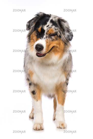 Australian shepherd dog standing on white background