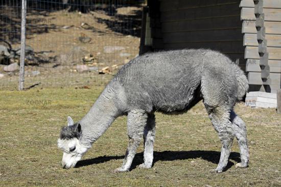 Grey Domesticated Alpaca Feeding Grass
