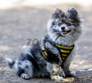 Adult Black And White Female Pomeranian Portrait.