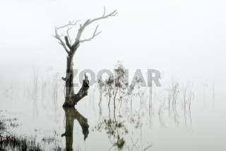 Trees in a lake of fog