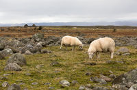 Two sheep grazing in the flat, rocky landscape at Lista, Norway
