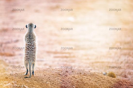 Erdmaennchen blickt in die Sonne, Kgalagadi-Transfrontier-Nationalpark, Südafrika, (Suricata suricatta)   Meerkat looking at the sun, Kgalagadi Transfrontier National Park, South Africa, (Suricata suricatta)