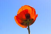 Red poppy against blue sky