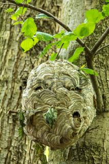 Wespennest im Baum