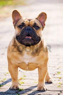 The cute French Bulldog