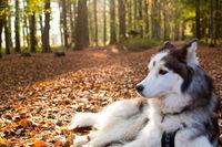 Husky, Siberian Husky als Haustier