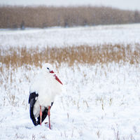 Stork in the snow in winter in Burgenland