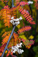 Close up of vibrant orange autumn leaves from Koehne mountain ash, White Fruited Chinese Rowan, Sorbus koehneana, with many white berries