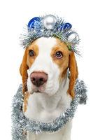 beautiful beagle dog girl