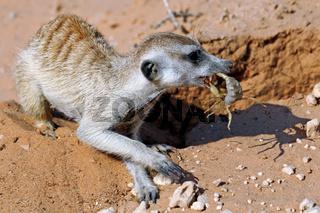 Erdmaennchen frisst Skorpion, Kgalagadi-Transfrontier-Nationalpark, Südafrika, (Suricata suricatta)   Meerkat eats a scorpion, Kgalagadi Transfrontier National Park, South Africa, (Suricata suricatta)
