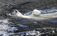 White bear in the water swim backstroke. Polar bear relax