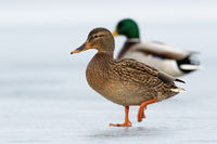 Two wild ducks approaching together on ice in wintertime.