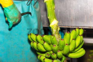 Operator cutting bunches of bananas at a packaging plant.