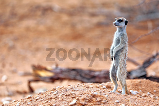 Erdmaennchen, Kgalagadi-Transfrontier-Nationalpark, Südafrika, (Suricata suricatta)   Meerkat, Kgalagadi Transfrontier National Park, South Africa, (Suricata suricatta)