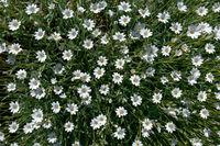 Filziges Hornkraut mit zahlreichen Blüten