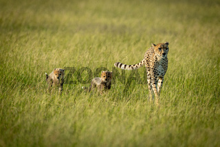 Female cheetah and two cubs cross savannah