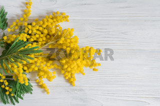 Beautiful mimosa flower bloom on white wooden background. Greeting card template. Shallow depth. Copy space. Spring nature