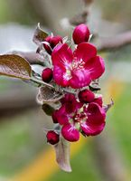 Rote Blüte eines Zierapfelbaumes