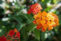 Weeping Lantana flower.