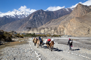 Luggage donkeys on the Annapurna Circuit, Nepal