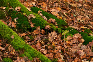 Moos bewachsene Wurzeln im Herbst