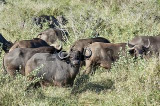 Herde von Kaffernbüffel - Syncerus Caffer