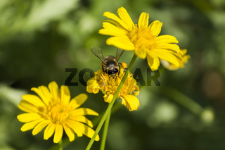 A bee on yellow daisy flower, macro
