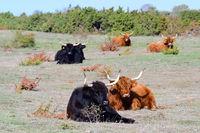 Highland Cattle auf einer Weide
