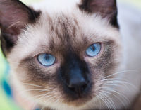 Seamese cat with black nose and blue eyes