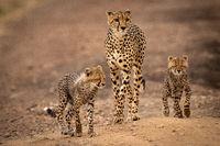 Cheetah walks down dirt track with cubs