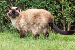 schöne Ragdoll-Katze mit blauen Augen steht aufmerksam im grünen Gras