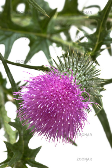 Mariendistelblüte