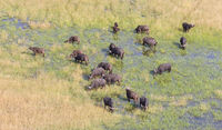 Water buffalo in the Okavango delta, Botswana - Aerial shot