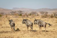 Three Blue wildebeest standing in the grass.