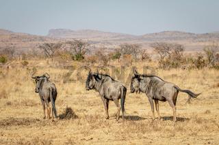 Three Blue wildebeest standing in the grass.