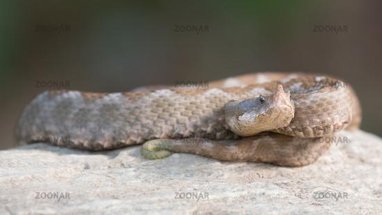 Hornviper Weibchen