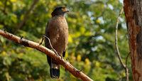 Crested serpent eagle, Spilornis cheela, Nagarhole National park, Karnataka, India