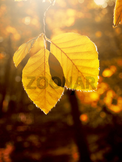 Autumn leaves in the morning backlight