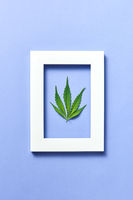 Plant frame with natural green cannabis leaf on a pastel lavender background.