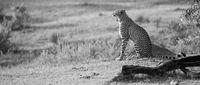 Gepard sitzt im Busch und reißt das Maul weit auf