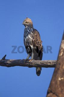 Changeable hawk-eagle, Nisaetus cirrhatus. Corbett Tiger Reserve, Uttarakhand, India