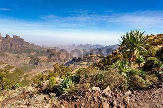 Giant lobelia in Semien or Simien Mountains, Ethiopia
