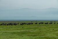 Line of white-bearded wildebeest migrate over savannah
