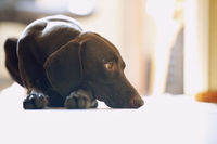Young German short-haired pointer boring at home