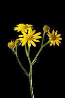 Senecio jacobaea St. James-wort