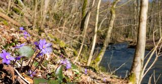Der Frühling hält Einzug im Wald blühende Anemonen