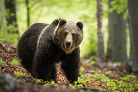 An enormous brown bear posing in the enchanting forest environment