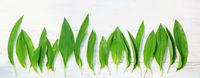 Bärlauch, Allium ursinum, Blätter, Header, Banner, Headline, Panorama, Textraum, copy space