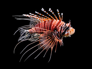 Beautiful swimming Lionfish isolated on black background.